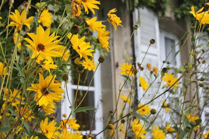 Chateau Alteville sunflowers