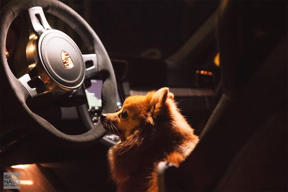 Co driver Porsche dog