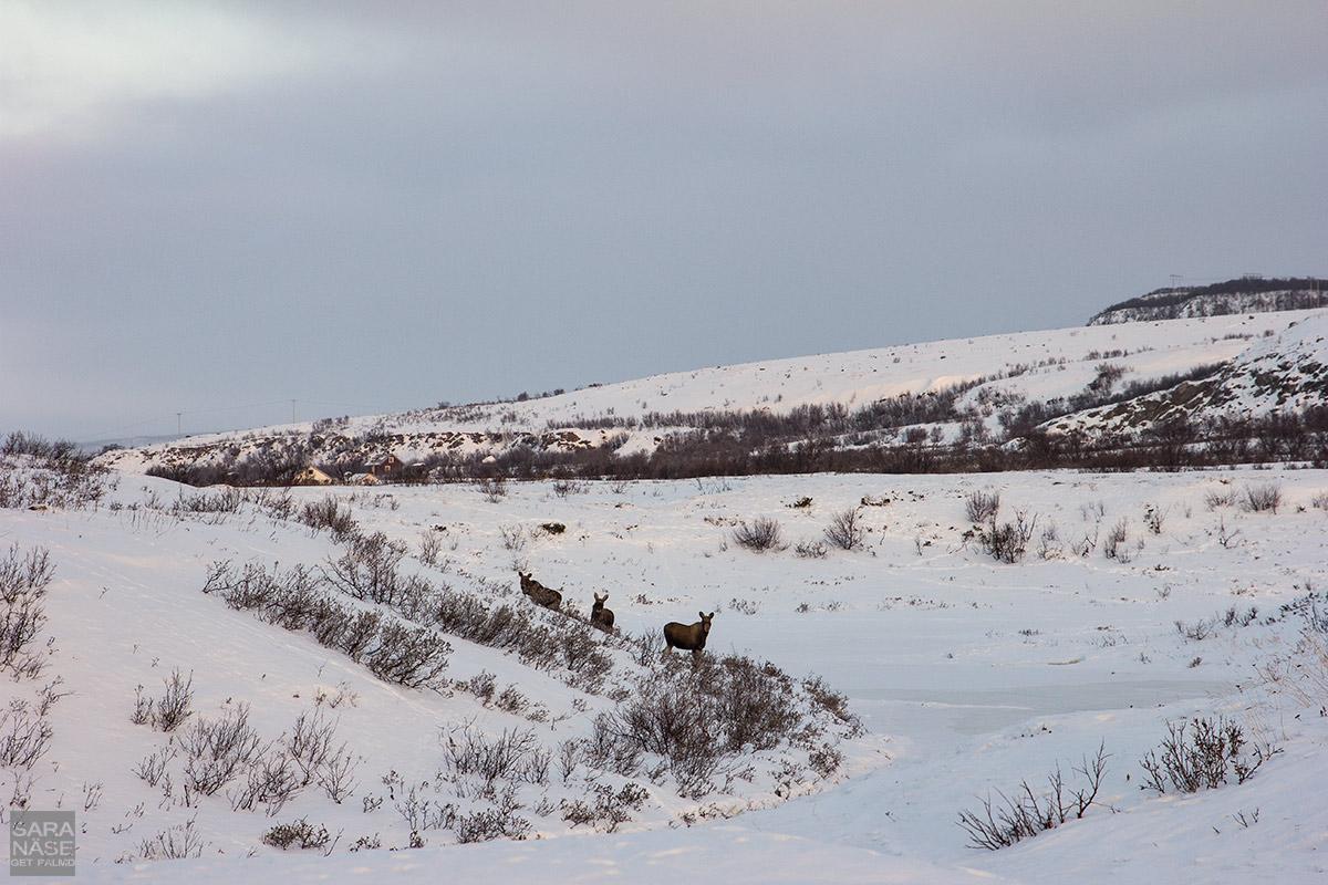 Elks-Norway-winter
