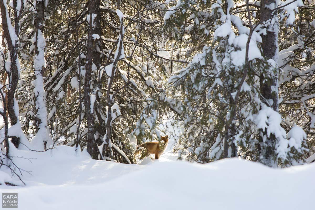 Lapland-fox-winter