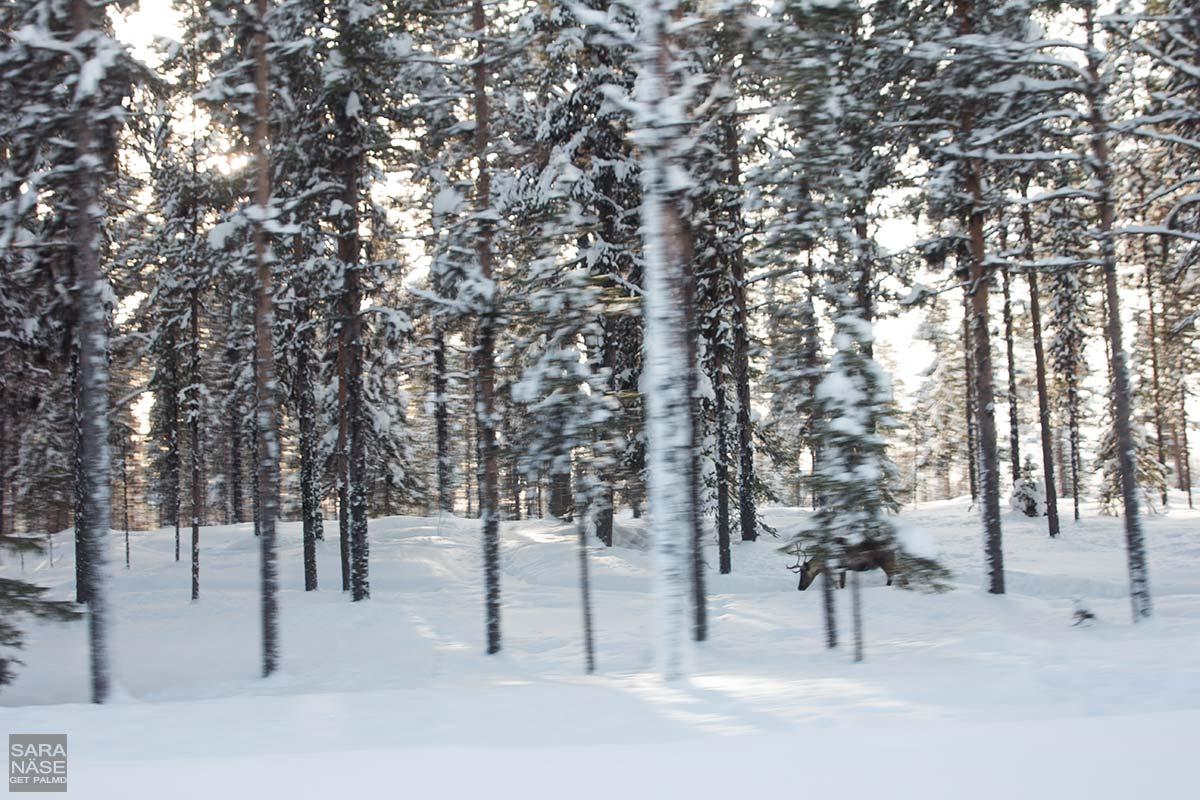 Lapland-reindeer-winter