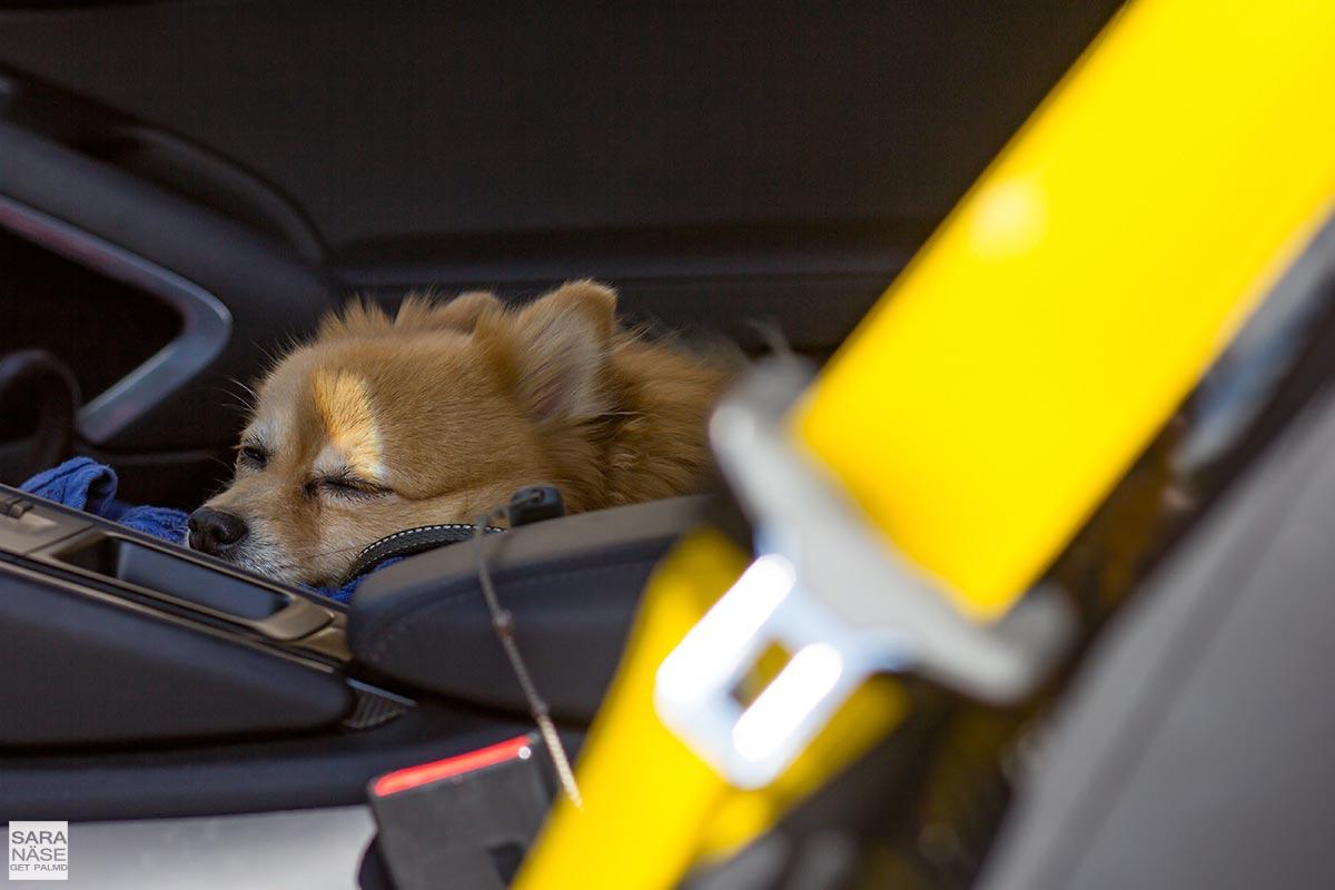 Dog in Porsche