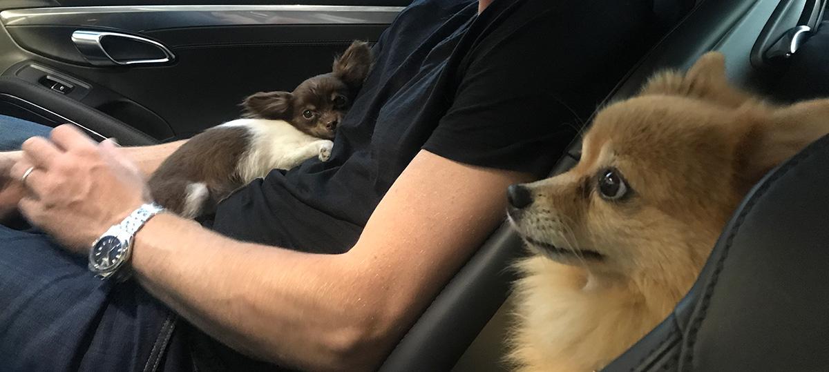 Dogs in Porsche 911