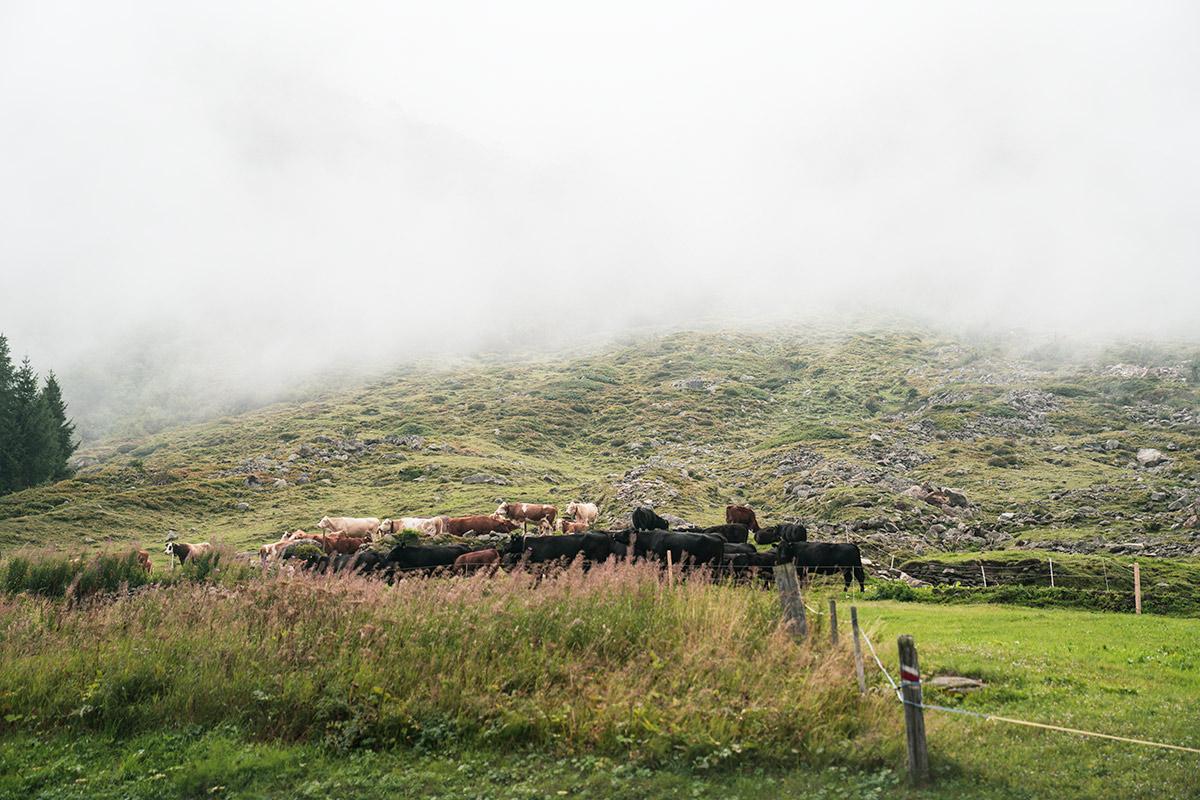 Furka Pass cows