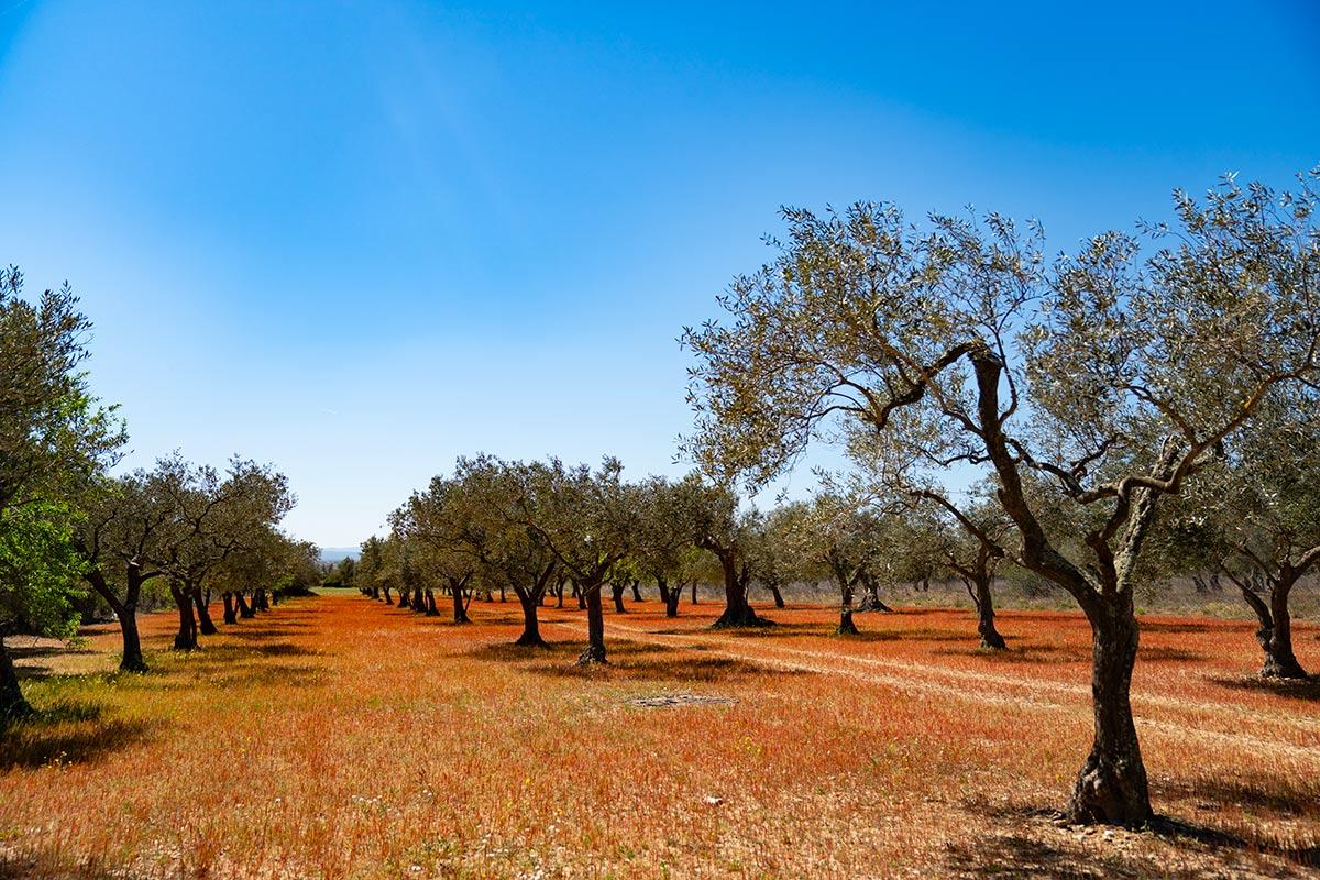 Olive groves Costa Brava